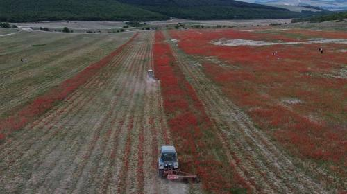 ForPost- Много шума из ничего: зачем уничтожили маковые поля под Севастополем