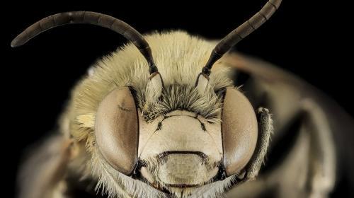ForPost - Обнаруженных в Крыму китайских пчел-гигантов отправят на генетический анализ
