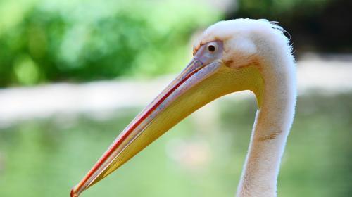 ForPost - Розовых пеликанов из Севастополя «депортировали» в Крым