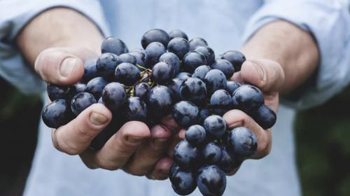 ForPost- В Севастополе опасаются падения урожая винограда из-за засухи