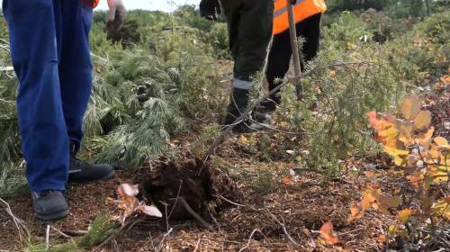 ForPost- Сотни деревьев отправились кочевать по Севастополю