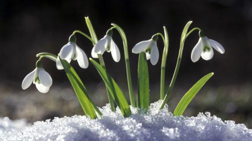 ForPost- Чем чревата любовь к первоцветам в Севастополе