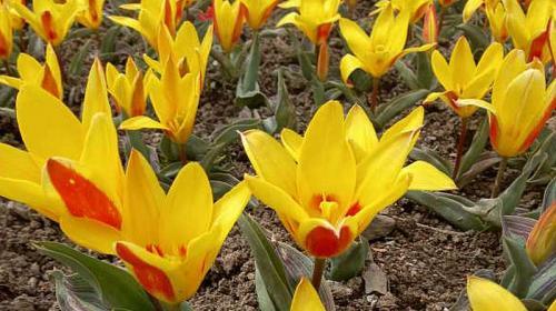 ForPost- В старейшем ботаническом саду Крыма распустились тюльпаны