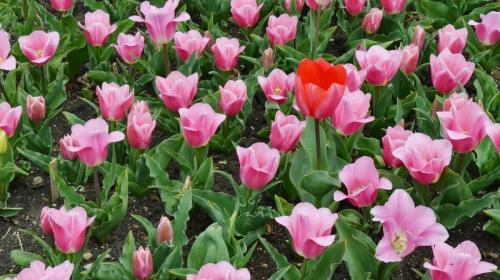 ForPost- Пик цветения тюльпанов в Крыму ожидают на майские праздники