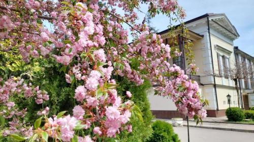 ForPost- Япония в Крыму: цветущая сакура в ботаническом саду Симферополя собрала тысячи гостей