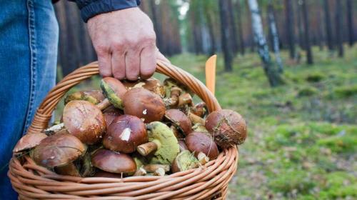 ForPost- И Родина щедро: в России ужесточили правила сбора грибов, ягод и берёзового сока