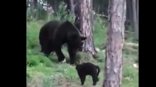 ForPost- «Вася, успокойся!»: домашний кот спас хозяев от медведя и попал на видео