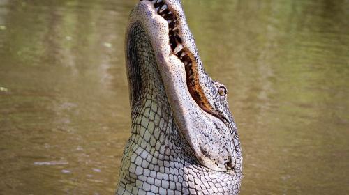 ForPost- Аллигатор приплыл в город вместе с наводнением и утащил мужчину
