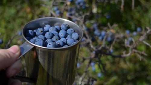 ForPost- Поющие в терновнике: в Крыму зреет заменитель кофе и спаситель от вирусов