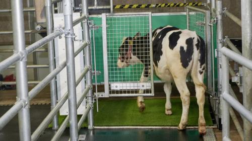 ForPost- Учёные научили коров ходить в туалет, чтобы спасти мир