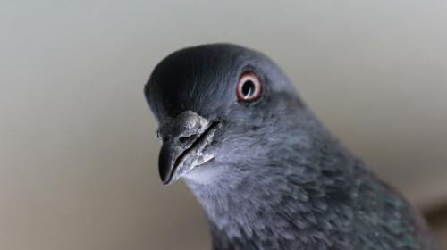 ForPost- В США на борьбу с террористами отправят голубей