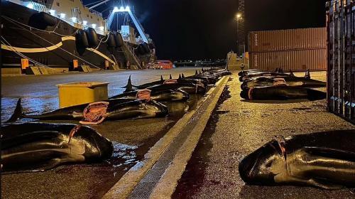 ForPost- Островитяне убили ещё более 50 дельфинов