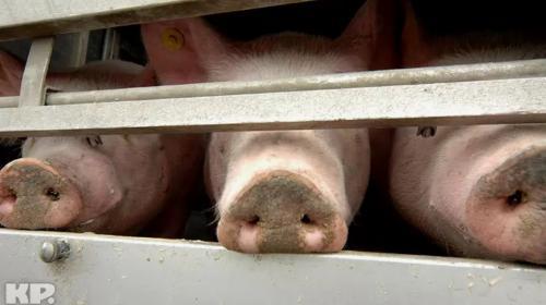 ForPost - Почему дорожает свинина