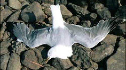 ForPost - В Балаклаве продолжают дохнуть чайки и нырки