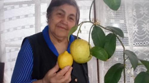 ForPost - Пенсионерка вырастила дома килограммовый лимон