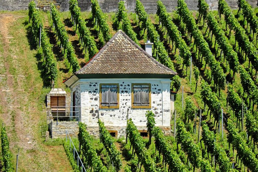 Компания «Симпл» хочет вложить деньги в севастопольские виноградники