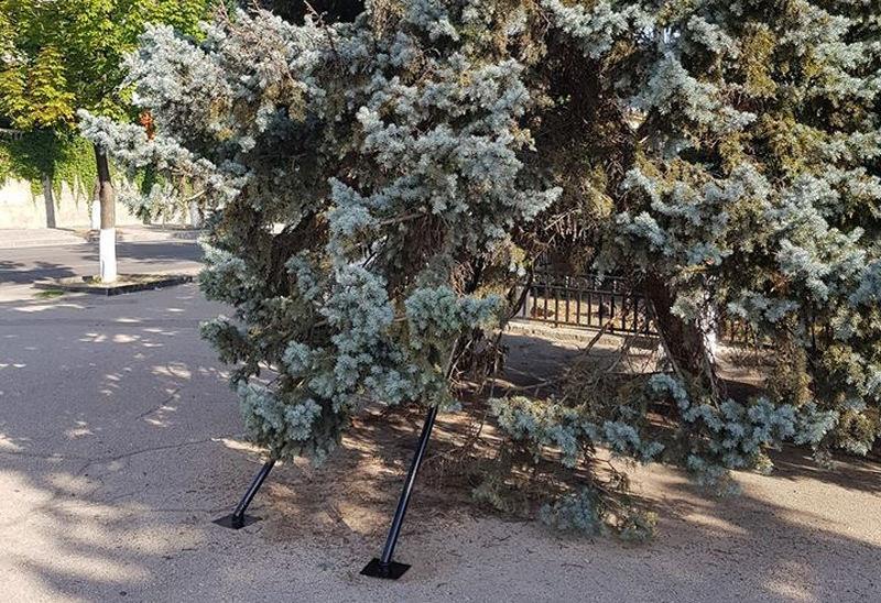 Голубые ели в Севастополе решили больше не рубить