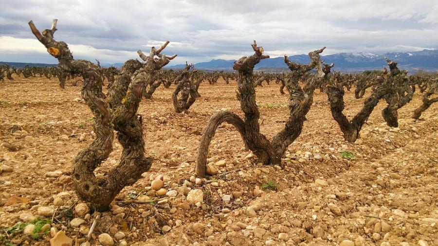 В Севастополе испортили виноградники