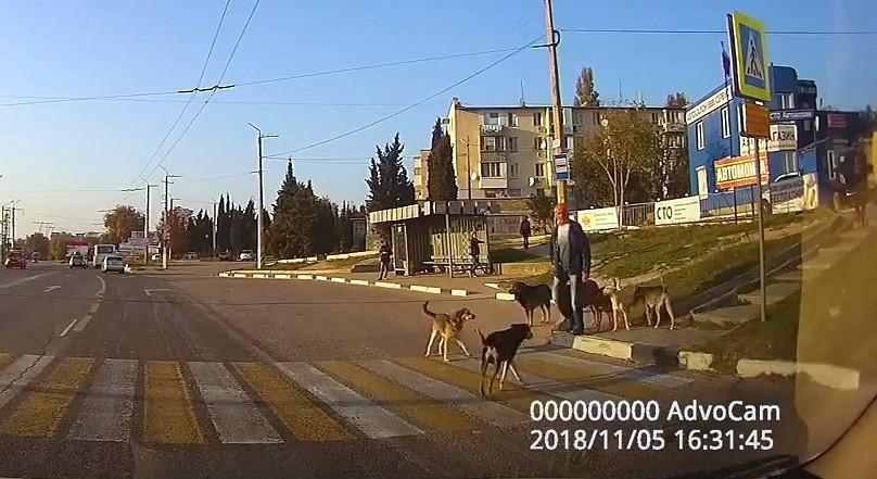 Севастопольские дворняги показали, как перейти дорогу