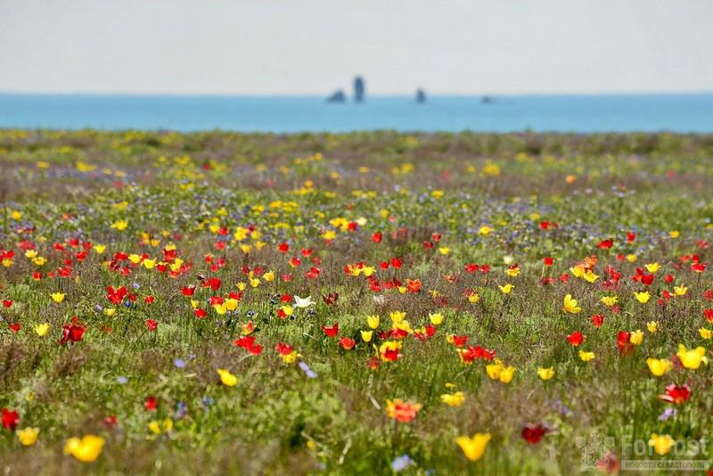 ForPost - Новости : Опукский заповедник: тюльпановый рай в Крыму