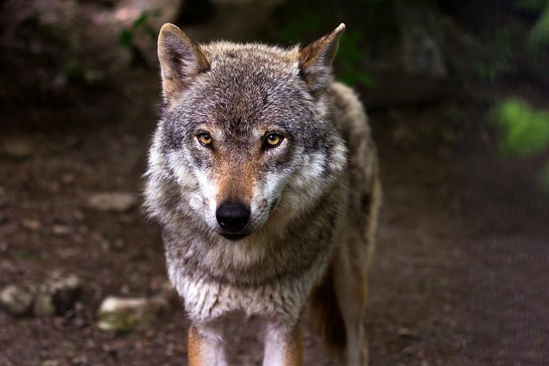 ForPost - Новости : Волки нападают на людей в Крыму