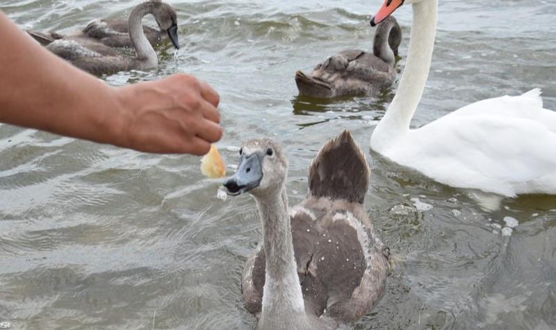 ForPost - Новости : Для лебедей в Евпатории построят столовую