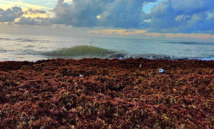 ForPost - Новости : Гнилые водоросли у севастопольского «Аквамарина» бульдозером сгребают в море