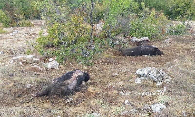 ForPost - Новости : После молнии гора в Крыму оказалась усеянной трупами кабанов