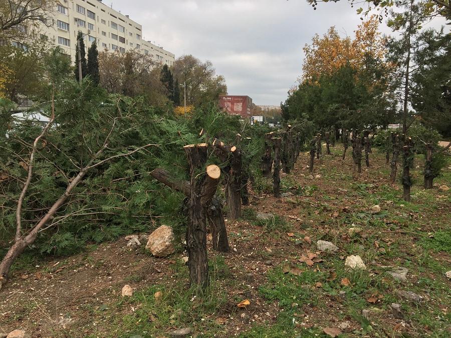 ForPost - Новости : Потом будет красиво: в Севастополе спилили полсотни многолетних туй под живую изгородь