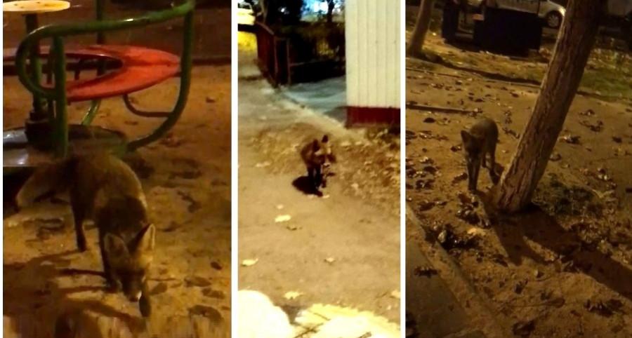 ForPost - Новости : В Севастополе лиса разгоняет бродячих котов