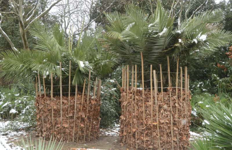 ForPost - Новости : Экзотические растения Крыма оказались в снежных оковах