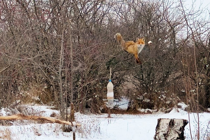 ForPost - Новости : В Крыму дикая лиса залезла на дерево ради куска сала (ВИДЕО)