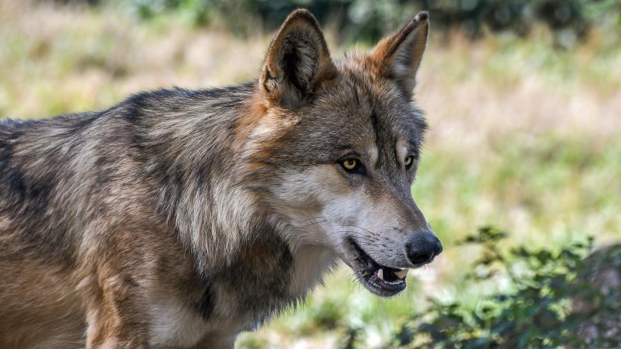 ForPost - Новости : В шесть раз: в Севастополе резко увеличилась популяция волков