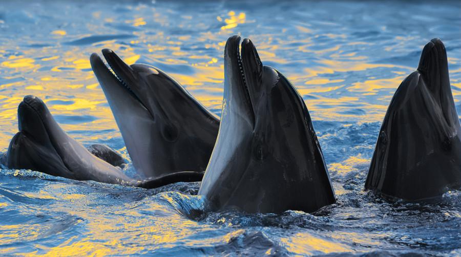 ForPost - Новости : В Госдуме предлагают запретить вылов животных для дельфинариев