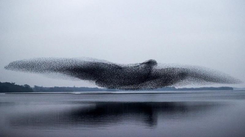 ForPost - Новости : Сотни тысяч скворцов в полёте образовали гигантскую птицу