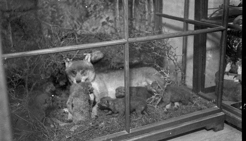 ForPost - Новости : Чучело убитого 100 лет назад волка покажут в Крыму