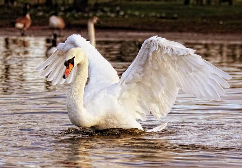 ForPost - Новости : Лебедь в крымском парке чистит пруд от водорослей