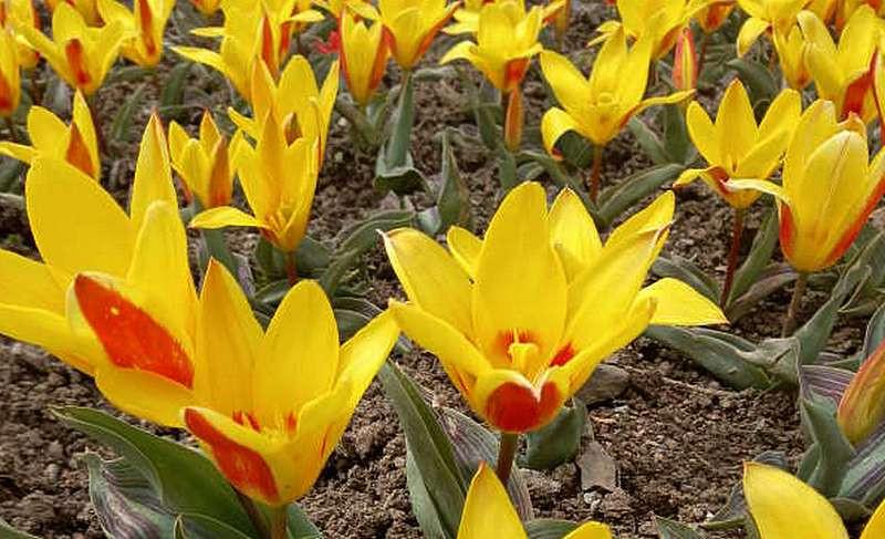 ForPost - Новости : В старейшем ботаническом саду Крыма распустились тюльпаны