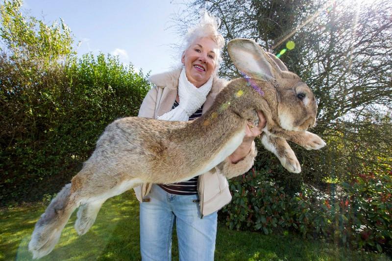 ForPost - Новости : В Великобритании похитили самого большого кролика в мире
