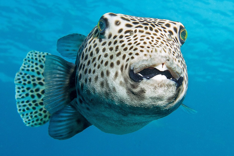 ForPost - Новости : Крымским пляжам грозит нашествие ядовитых рыб фугу
