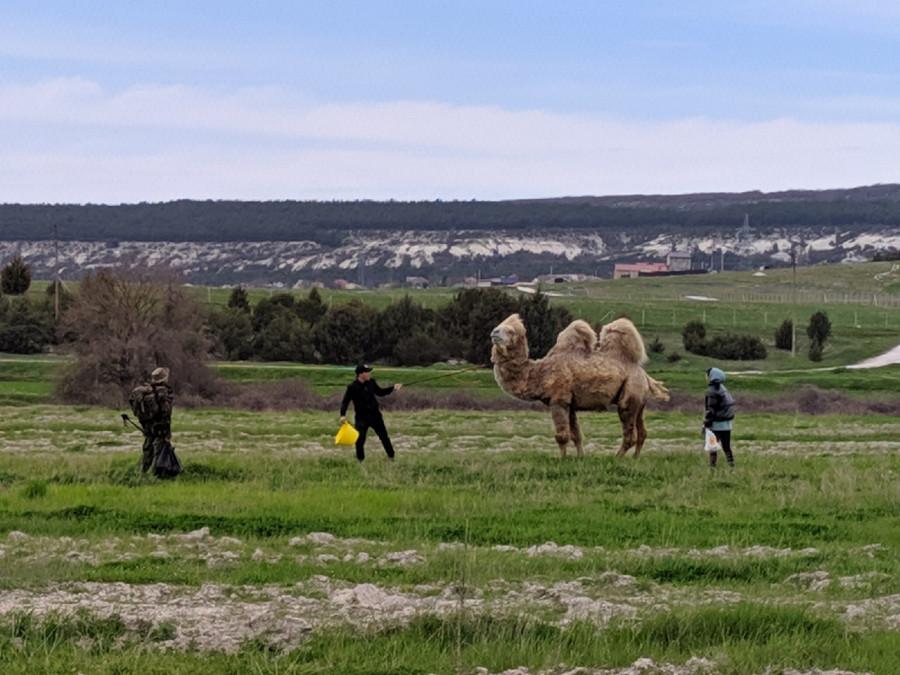 ForPost - Новости : СевСети #1225. Севастопольский верблюд, фотоохота и старт купального сезона