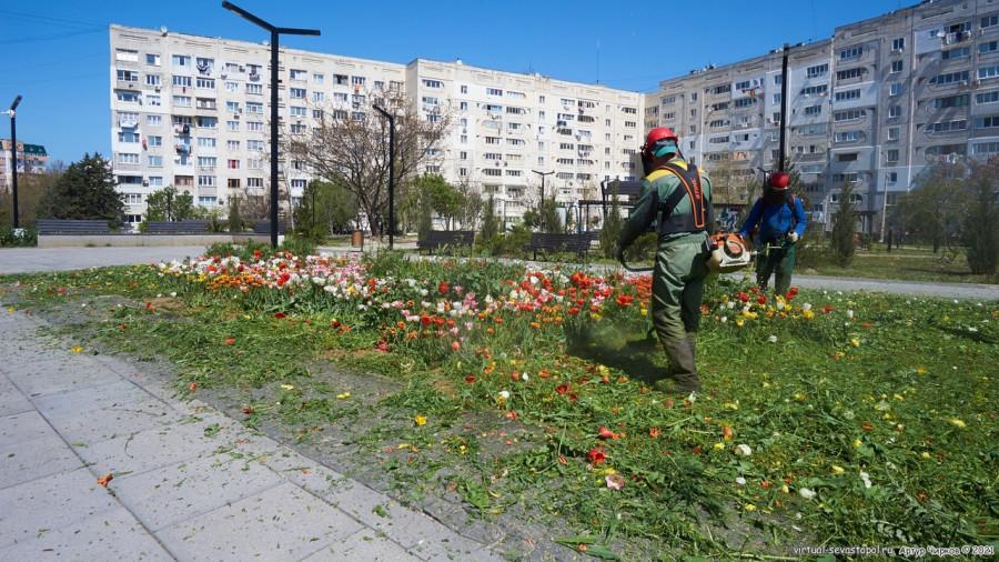 севастополь клумба тюльпаны цветы город трава покос