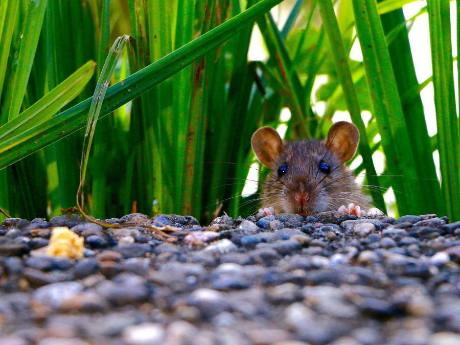 ForPost - Новости : Большую севастопольскую тропу избавят от крыс и клещей