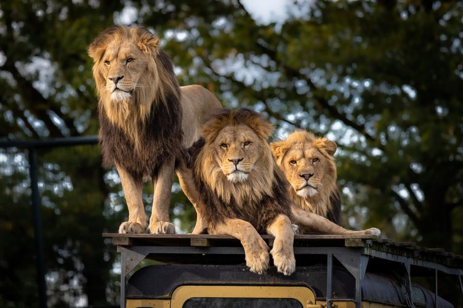 ForPost - Новости : В Индии коронавирусом заболели даже львы