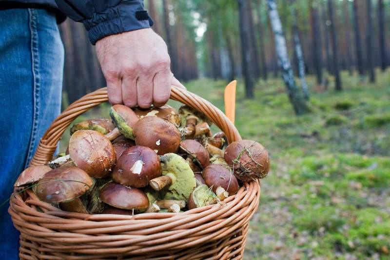 ForPost - Новости : И Родина щедро: в России ужесточили правила сбора грибов, ягод и берёзового сока