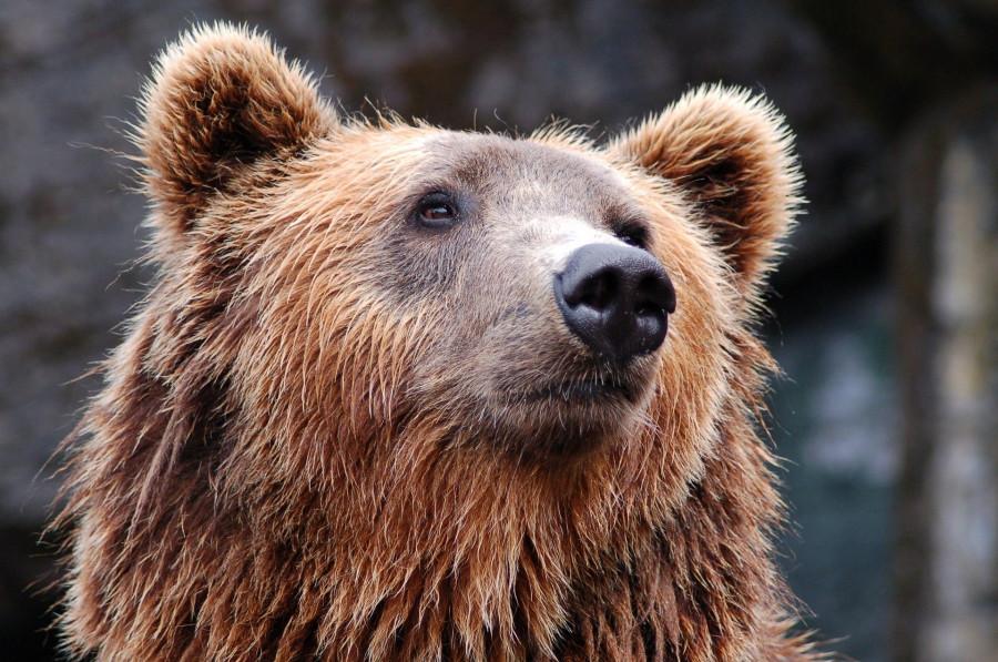 ForPost - Новости : Принца Лихтенштейна обвинили в убийстве самого большого медведя Европы