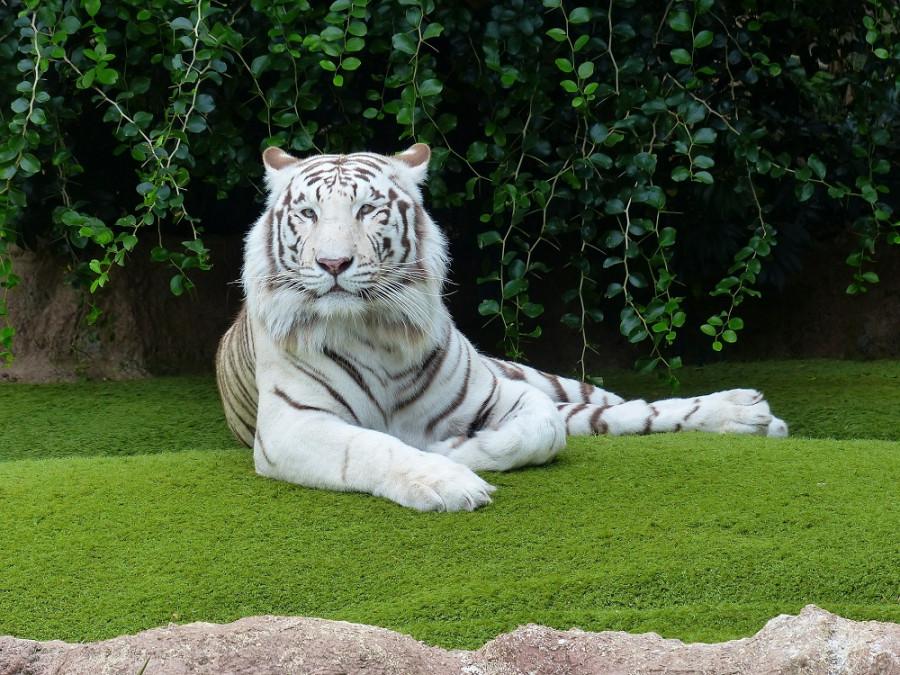 ForPost - Новости : Подозреваемого в убийстве задержали из-за домашнего тигра