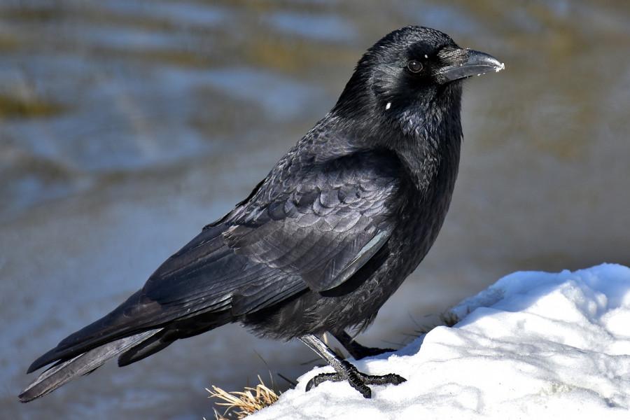 ForPost - Новости : Известного писателя ограбила наглая птица