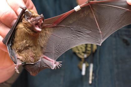 ForPost - Новости : Китайские ученые обнаружили 24 новых вида коронавируса у летучих мышей