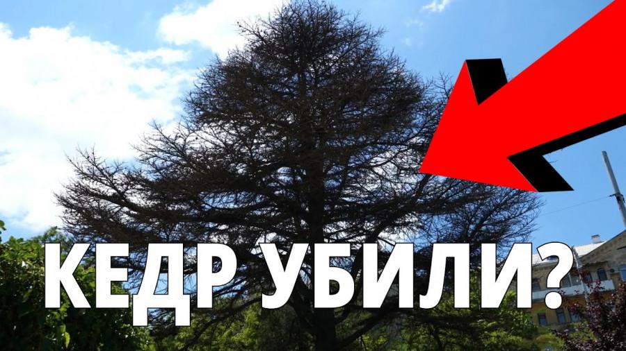 ForPost - Новости : В центре Севастополя погибает вековой кедр